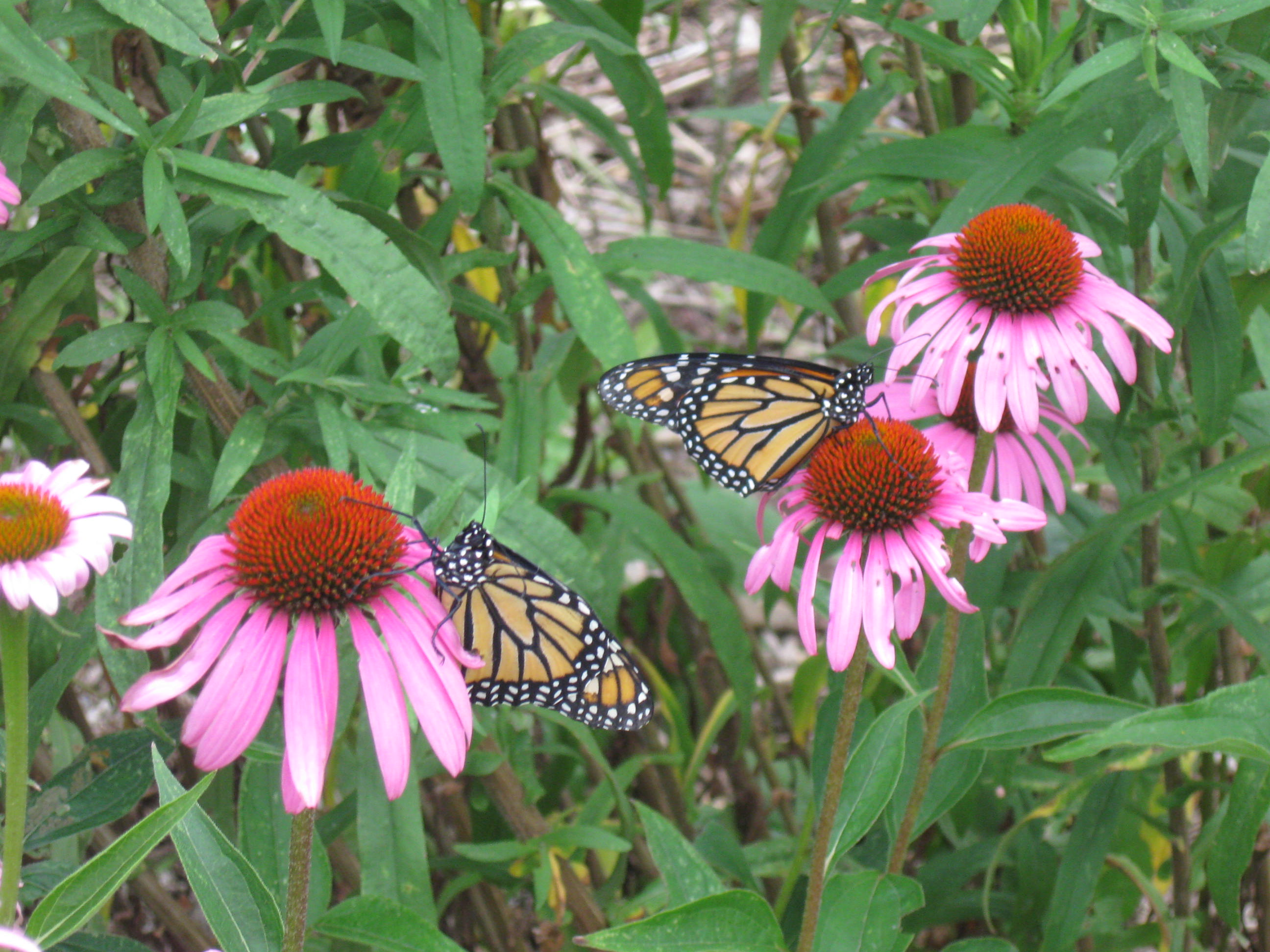 Senior Center Butterfly Garden