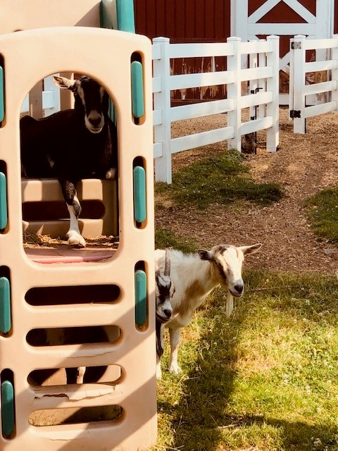 Goats on playscape.jpg
